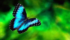 Kék lepke, pillangó